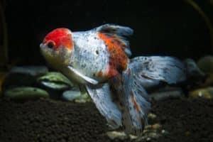 Fischkrankheiten